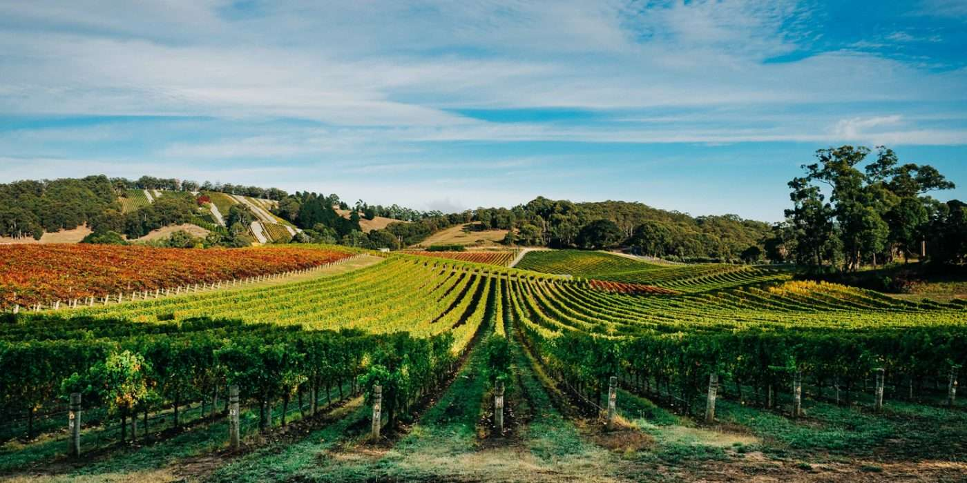 Rows of grape vines in South Australia with hills in the background